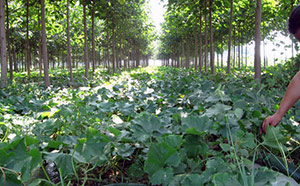 feed the world - paulownia intercropping